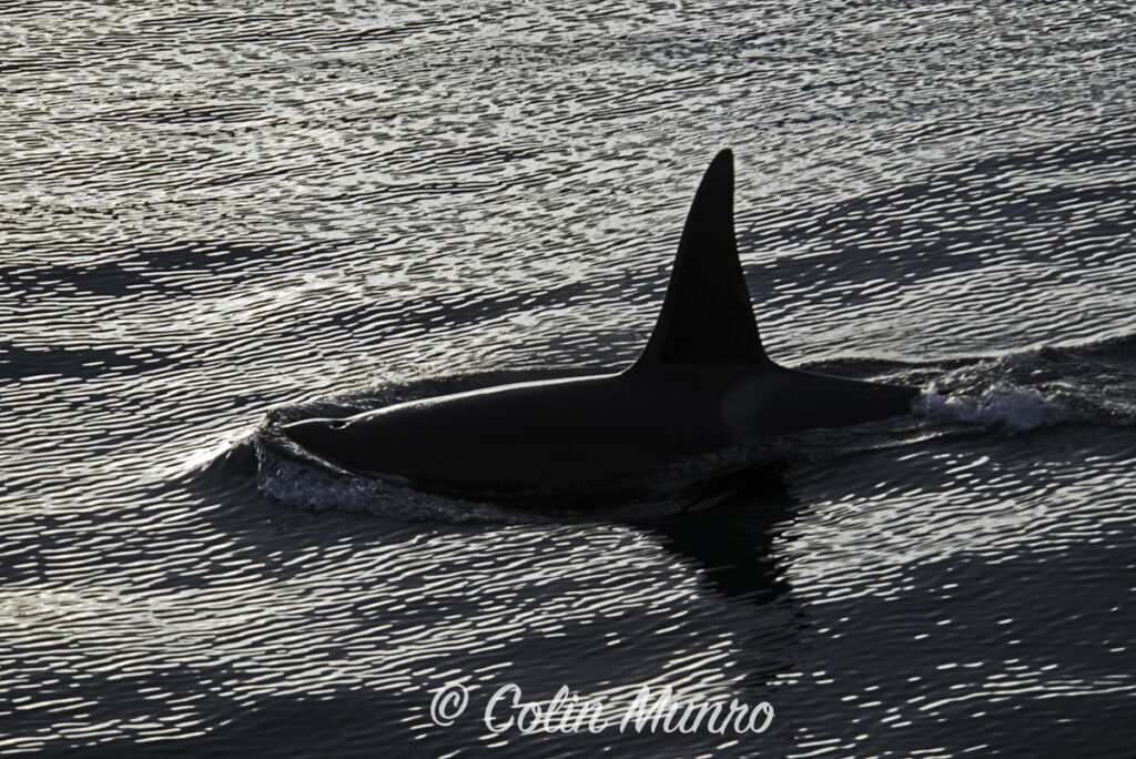 Fine art print of a male orca (killer whale) silhouetted at sunset. Colin Munro Photography