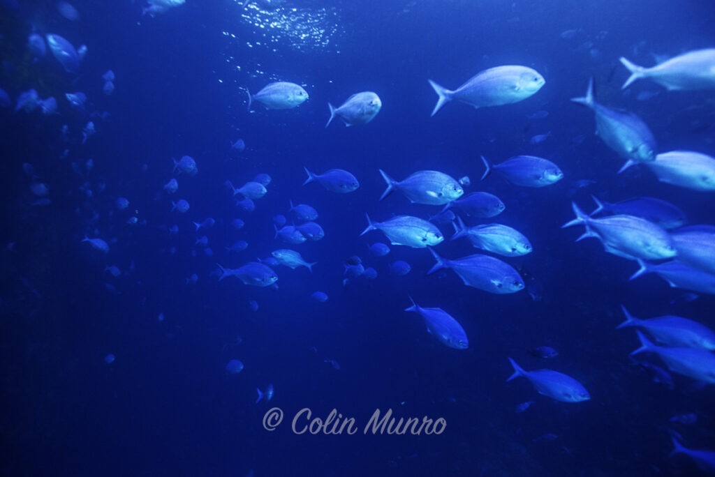 Blue maomao fine art print. A fine art print of a scholl of blue maomao fish streaming past, Blue maomao Arch, Poor Knights Marine Reserve, New Zealand, by Colin Munro Photography