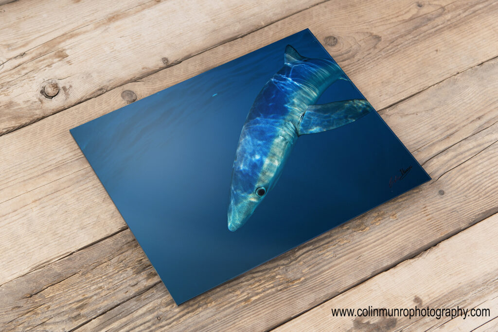 Buy Blue shark acrylic facemount prints at www.colinmunrophotography.com