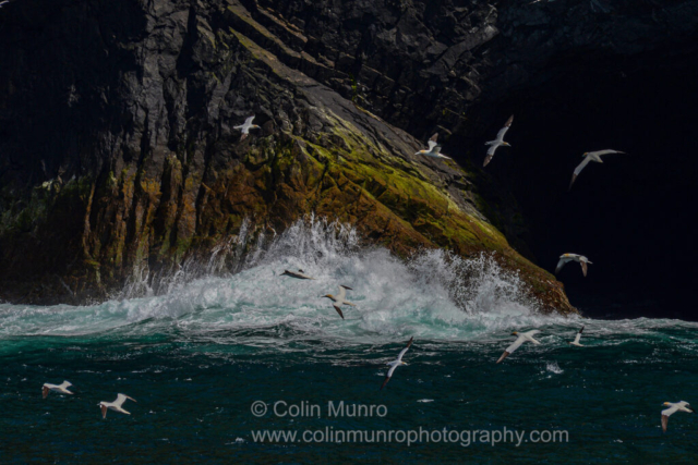 Gannets wheeling above crashing surf. St Kilda, outer Hebrides