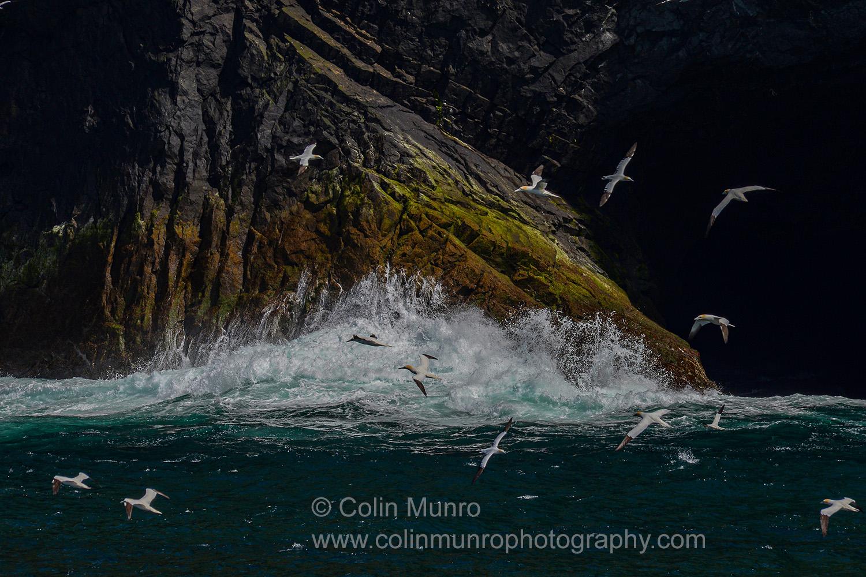 Gannets wheeling above crashing surf. St Kilda, outer Hebrides