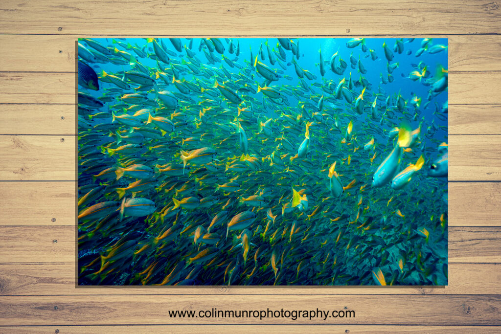 Fine art photographic print of a school of bigeye snappers, Andaman Sea. Colin Munro Photography www.colinmunrophotography.coms